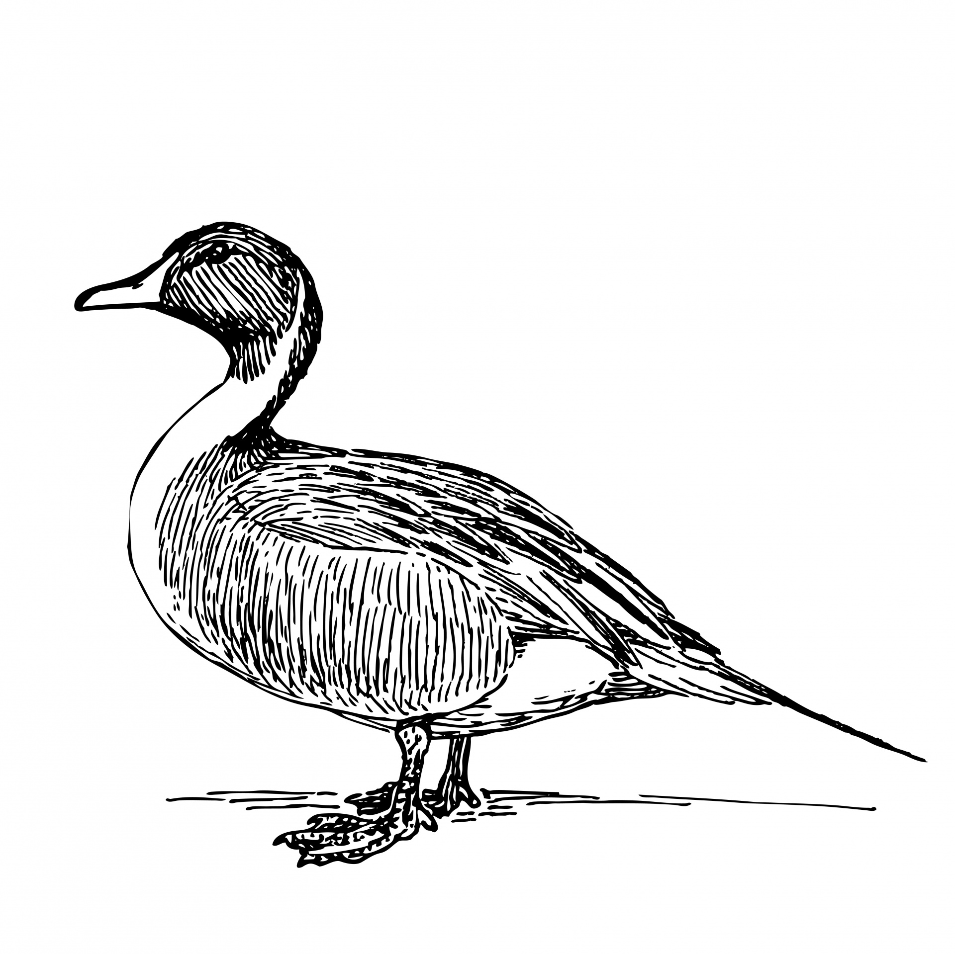 1920x1919 Duck Illustration Clipart Free Stock Photo