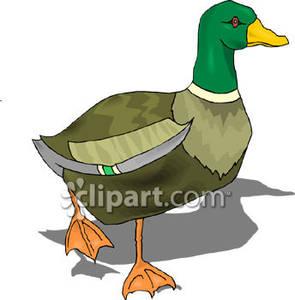 295x300 Mallard Duck