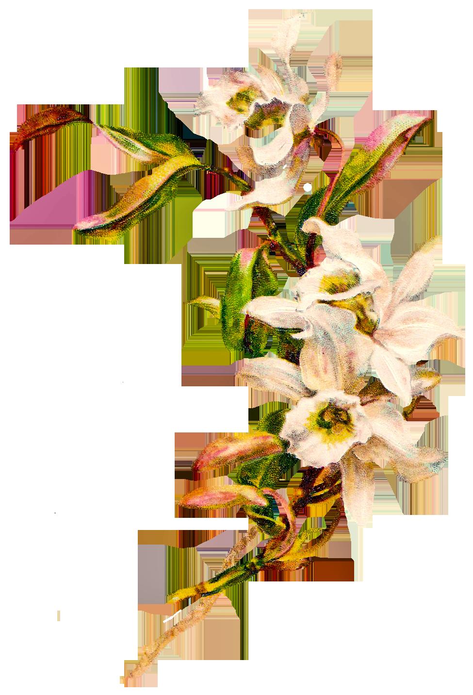 975x1432 Gousicteco Orchid Clipart Border Images