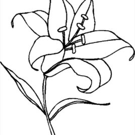 268x268 Tiger Lily Coloring Page Kids Drawing And Coloring Pages