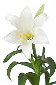 183x275 Easter Lilly Facts International