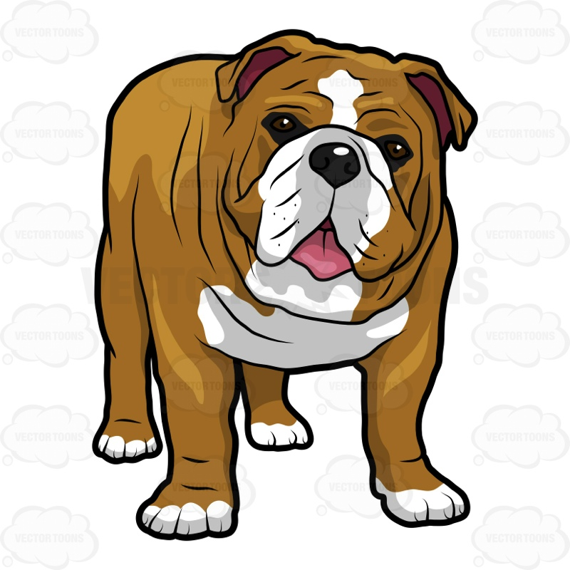 800x800 English Bulldog Standing With Its Mouth Open English Bulldogs