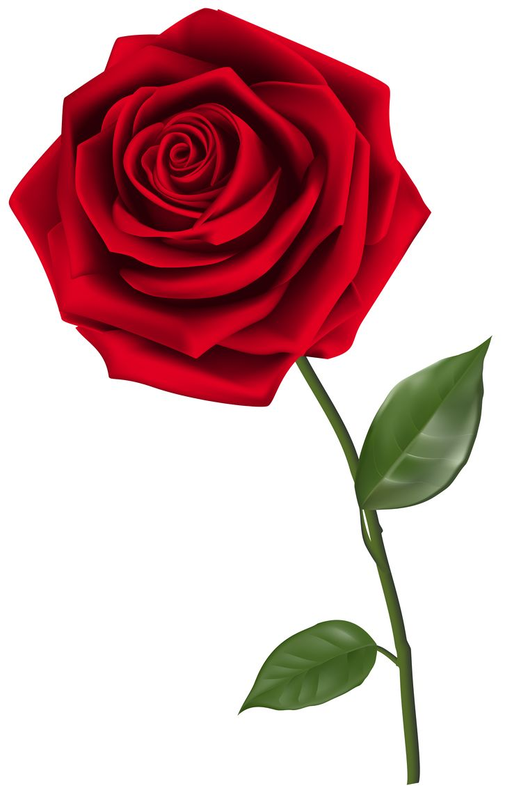736x1129 Best Red Rose Pictures Ideas Red Roses, Dark
