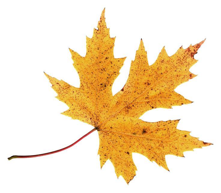 736x642 Single Clipart Fall Leaves