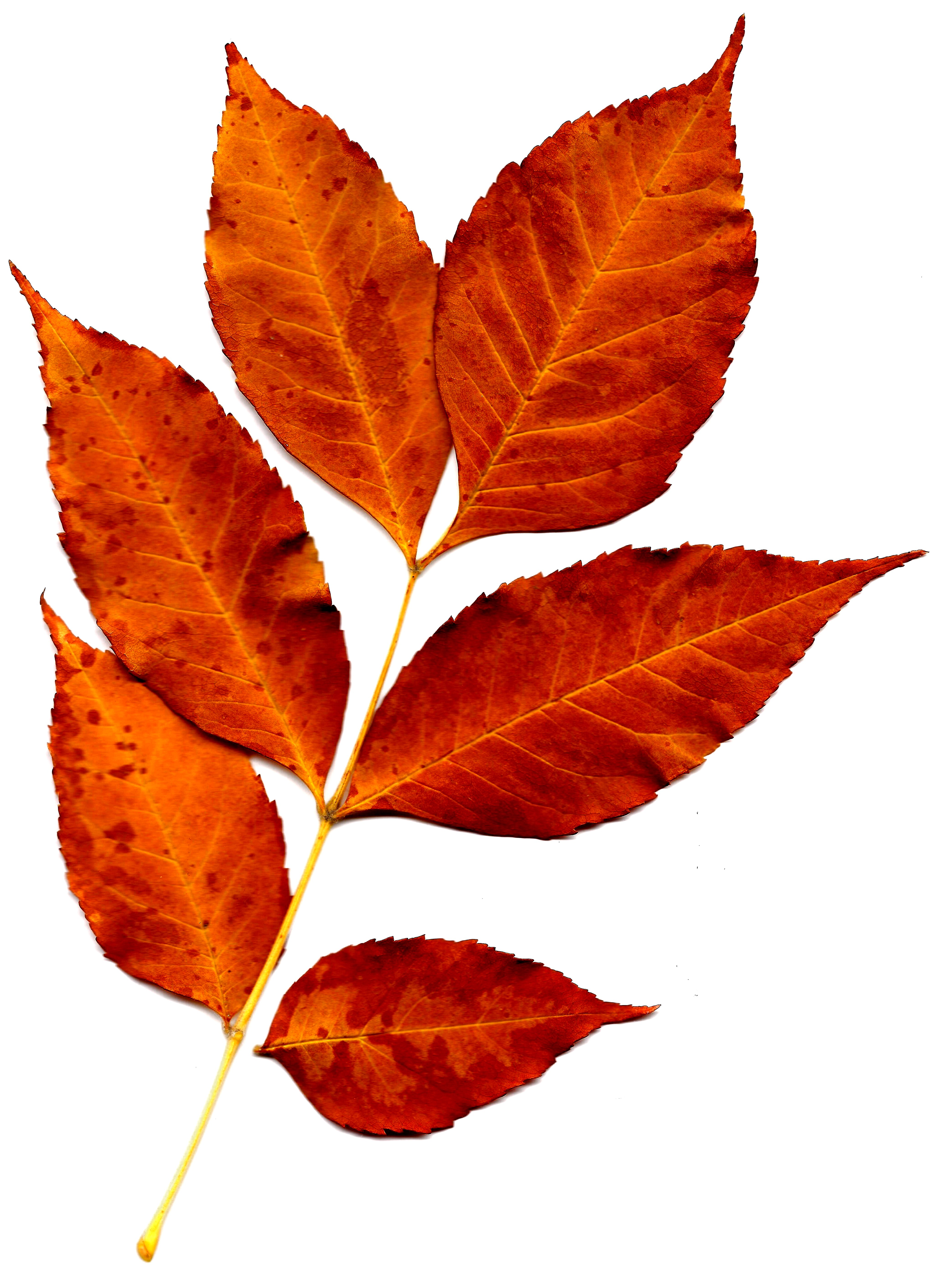 4150x5650 Sprig Of Orange Fall Leaves Picture Free Photograph Photos