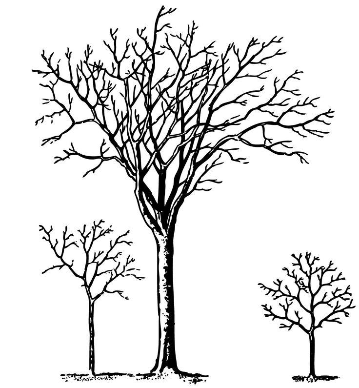 736x795 Ume Tree Clipart Family Tree