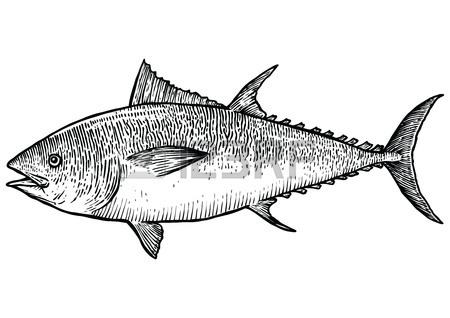 450x318 Salmon Fish Illustration, Drawing, Engraving, Line Art, Realistic