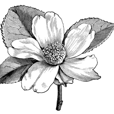 392x392 Camellia oleifera, camellia flower illustration, black and white