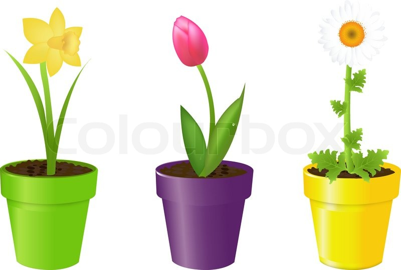 800x540 3 Flowers In Pots, Tulip, Narcissus And Camomile, Isolated