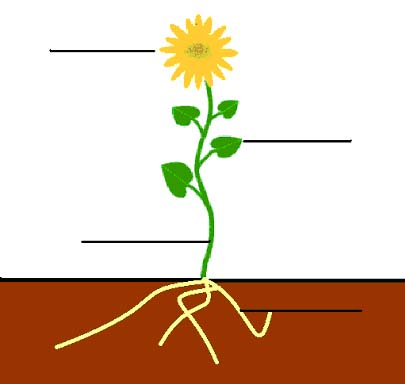405x384 Roots Clipart Sunflower