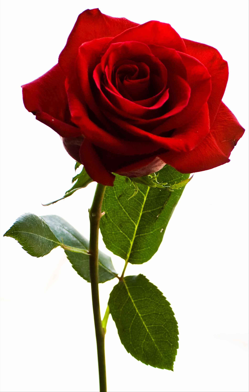 flower stem clipart | free download best flower stem clipart on