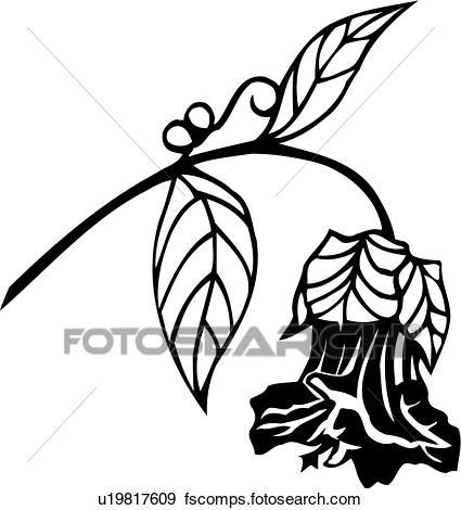 425x470 Clip Art Of , Cup And Saucer Vine, Flower, Varieties, U19817609