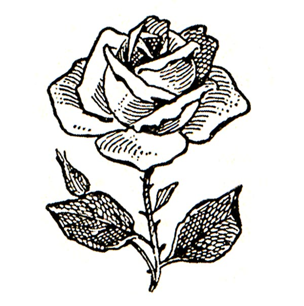 600x605 Pink Rose Clipart Black White