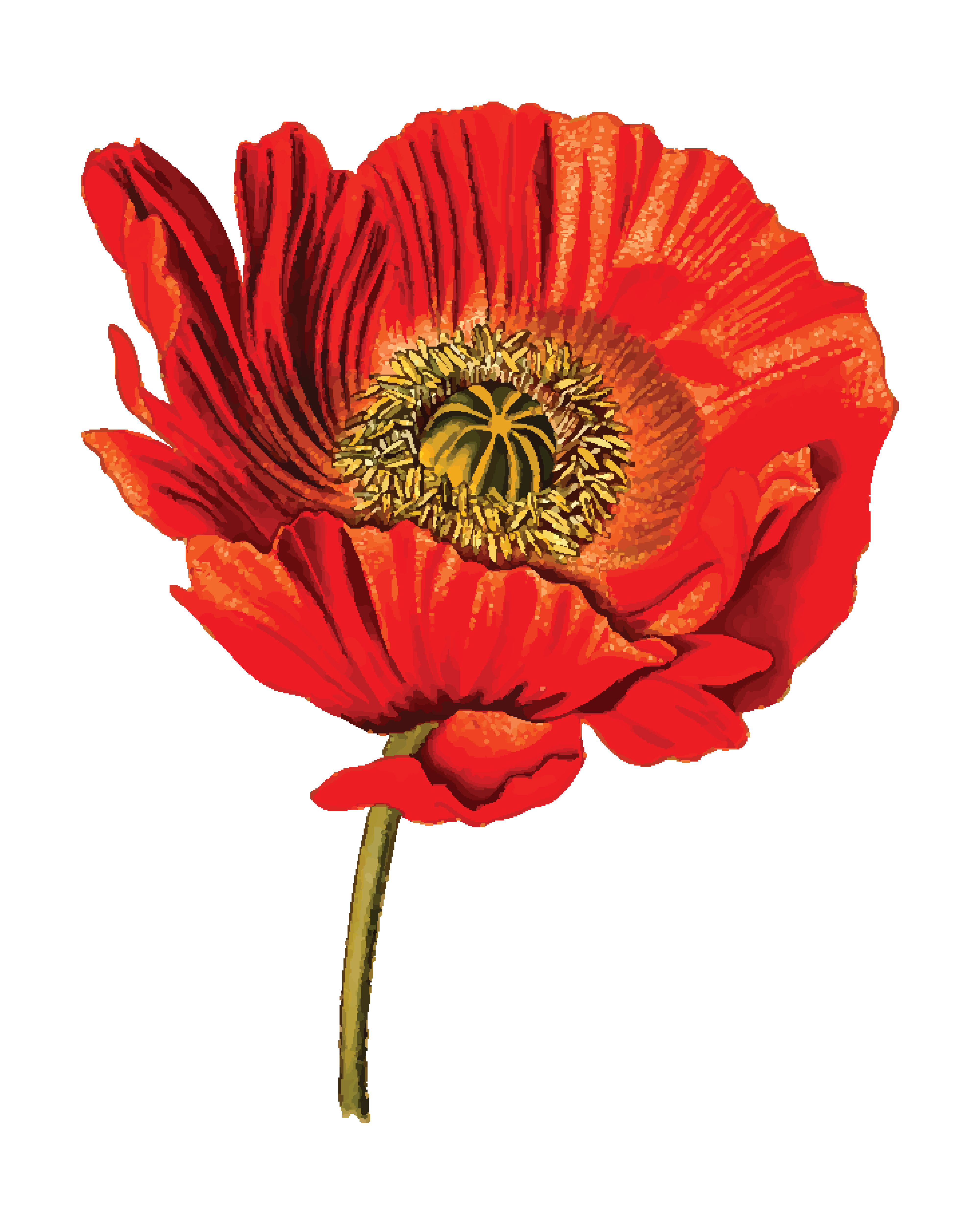 4000x4999 Clipart Of A Poppy Flower