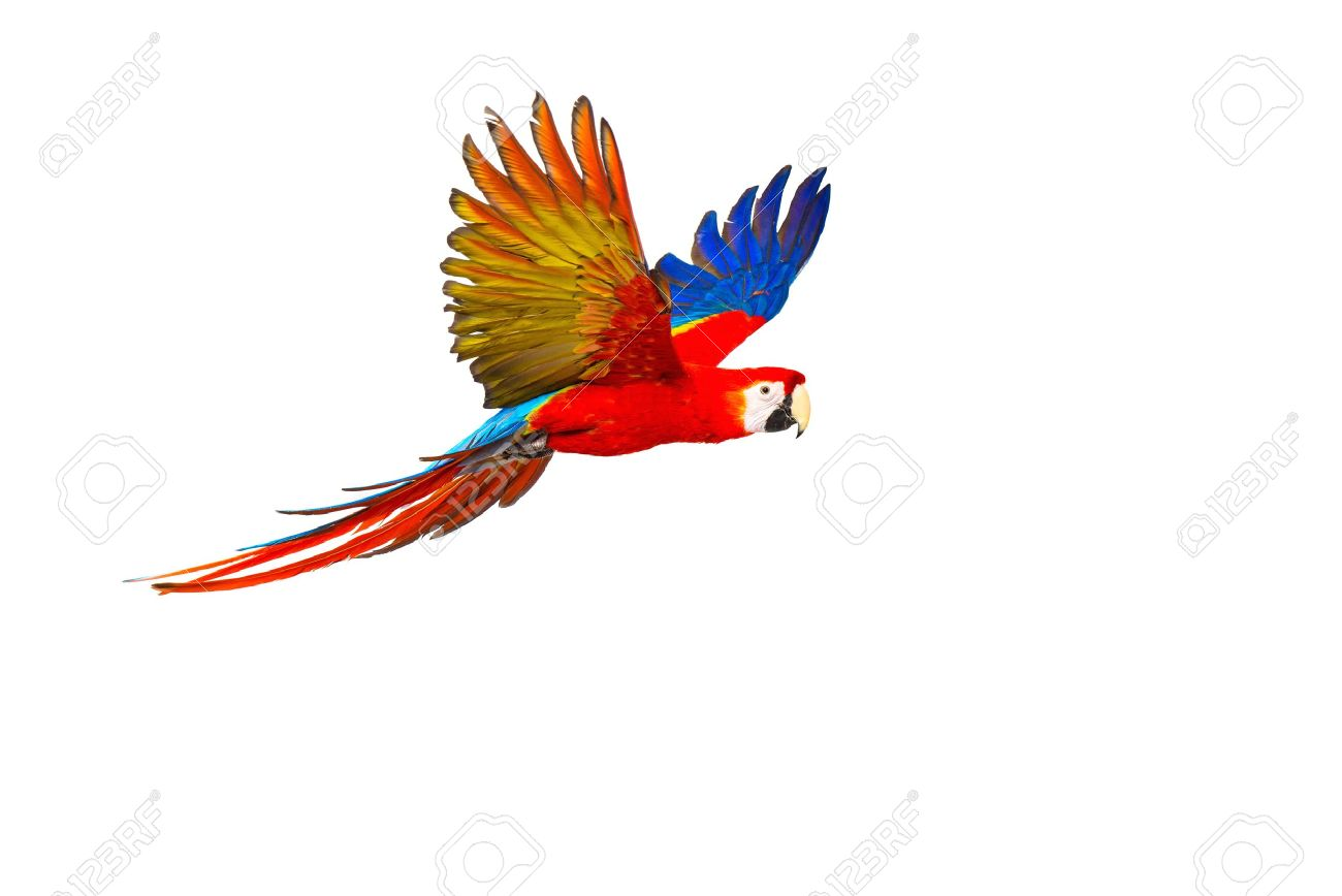 1300x868 Colourful Flying Parrot Isolated On White Stock Photo, Picture