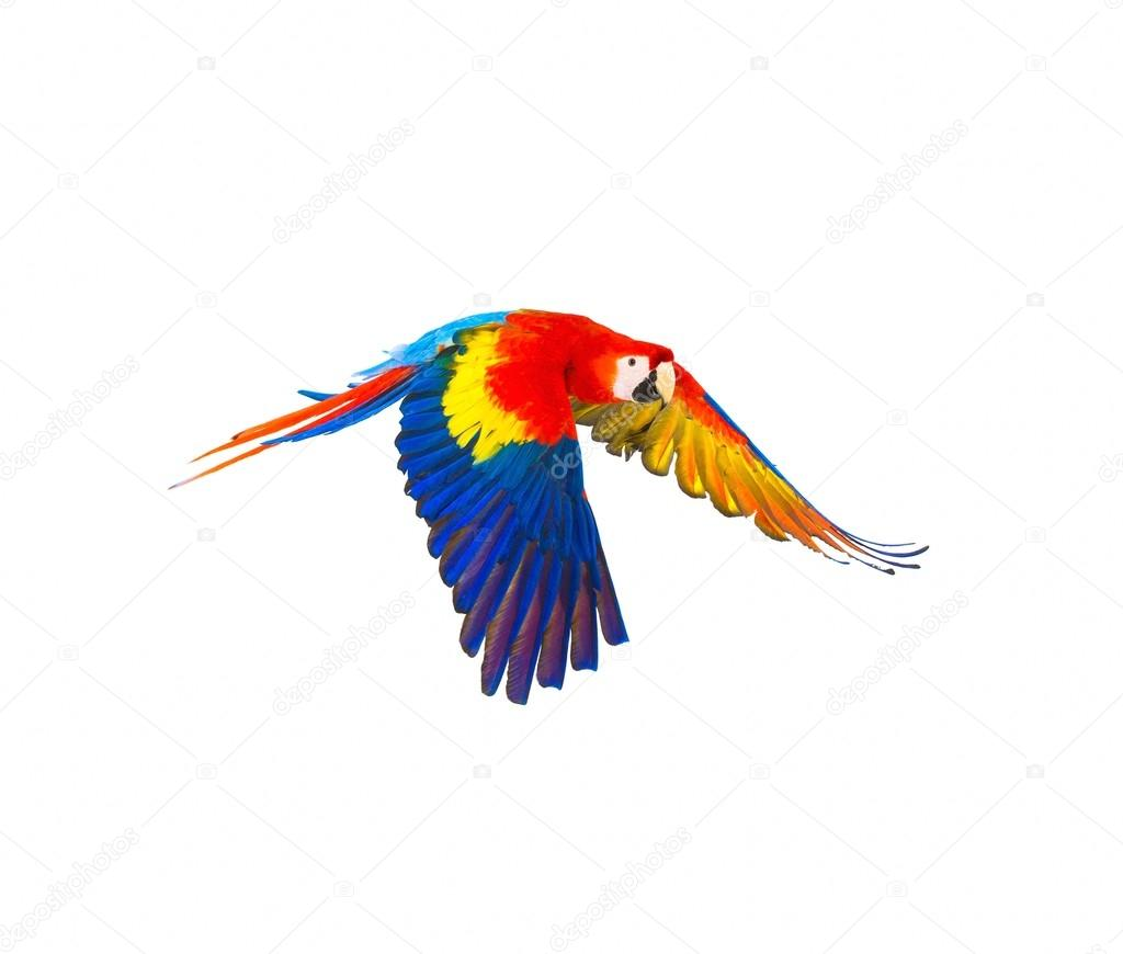 1024x870 Colourful Flying Parrot Isolated On White Stock Photo Nejron