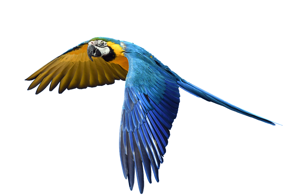 960x640 Free Photo Fly Flight Colorful Isolated Parrot