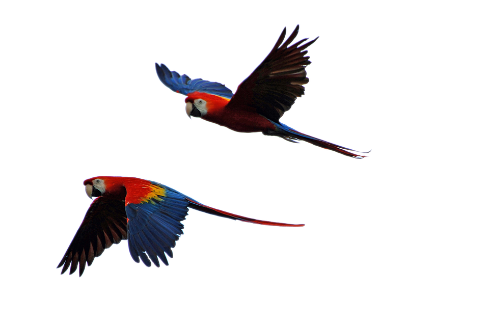 960x638 Free Photo Parrot Isolated Parrots Flight