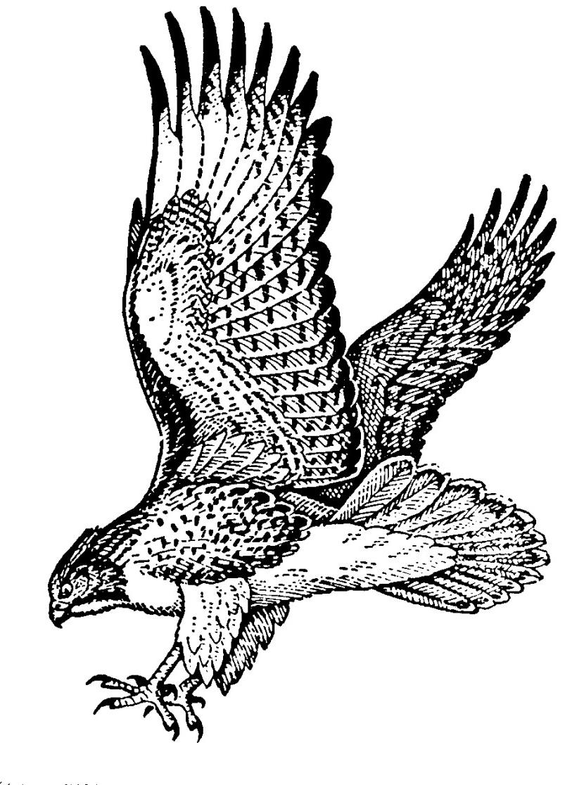 830x1116 Unique Hawk Clip Art Flying Prints Library