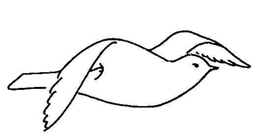 537x281 Biological Drawings. Bird Flight, Wing Upstroke. Birds