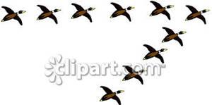 300x149 Flock Of Ducks Flying In A V Formation