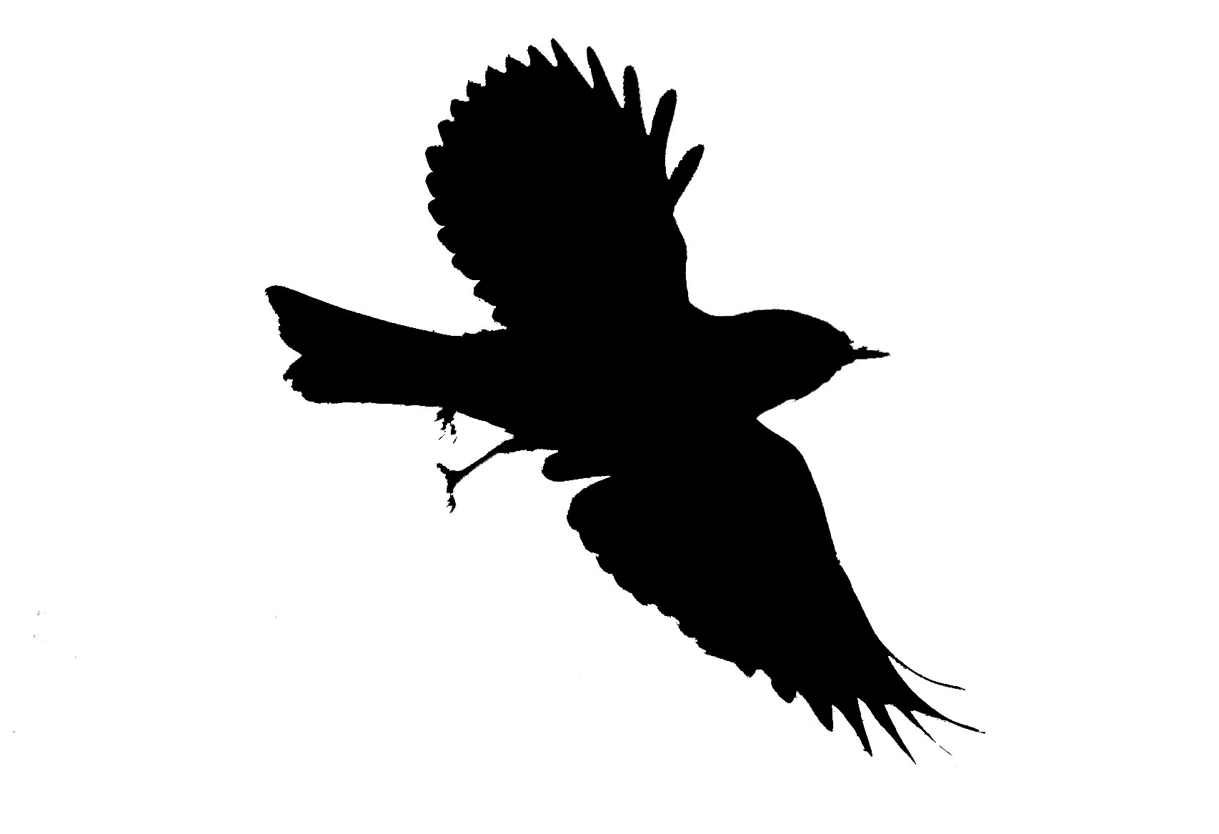 1706x1167 Flying Bird Transparent Clipart
