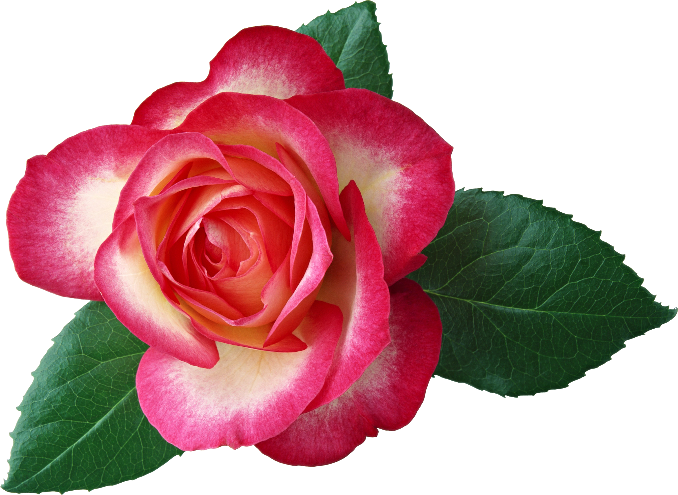 2623x1916 Roses Free Rose Clip Art Clipartfest