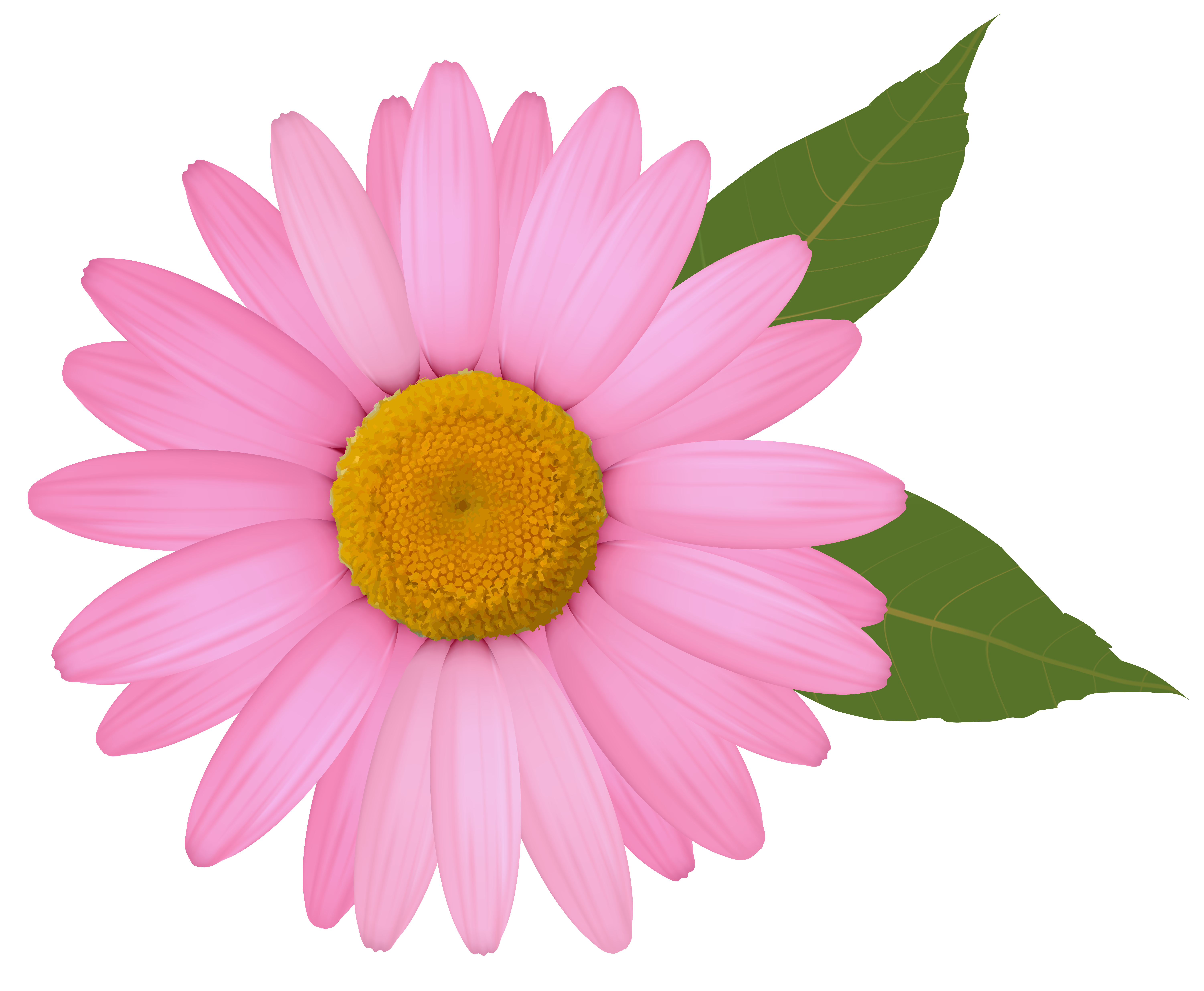 6006x4941 Pink Daisy Clipart