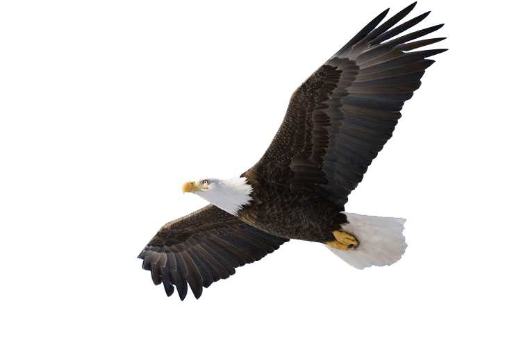 750x500 Free Soaring Eagle Clipart Image