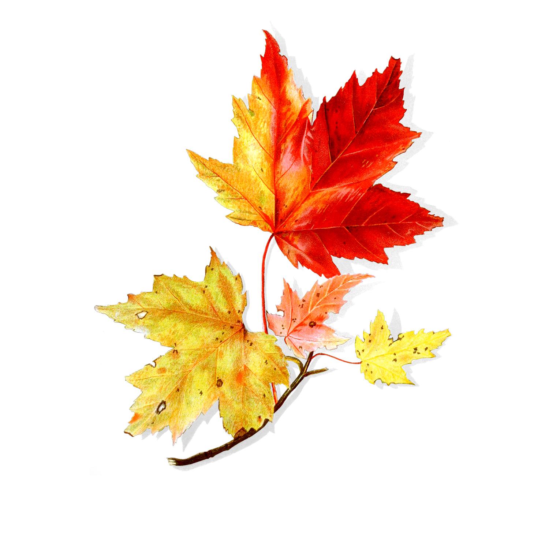 1500x1500 Maple Leaf (Free Graphics)