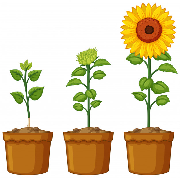 626x620 Three Pots Of Sunflower Plants Vector Free Download