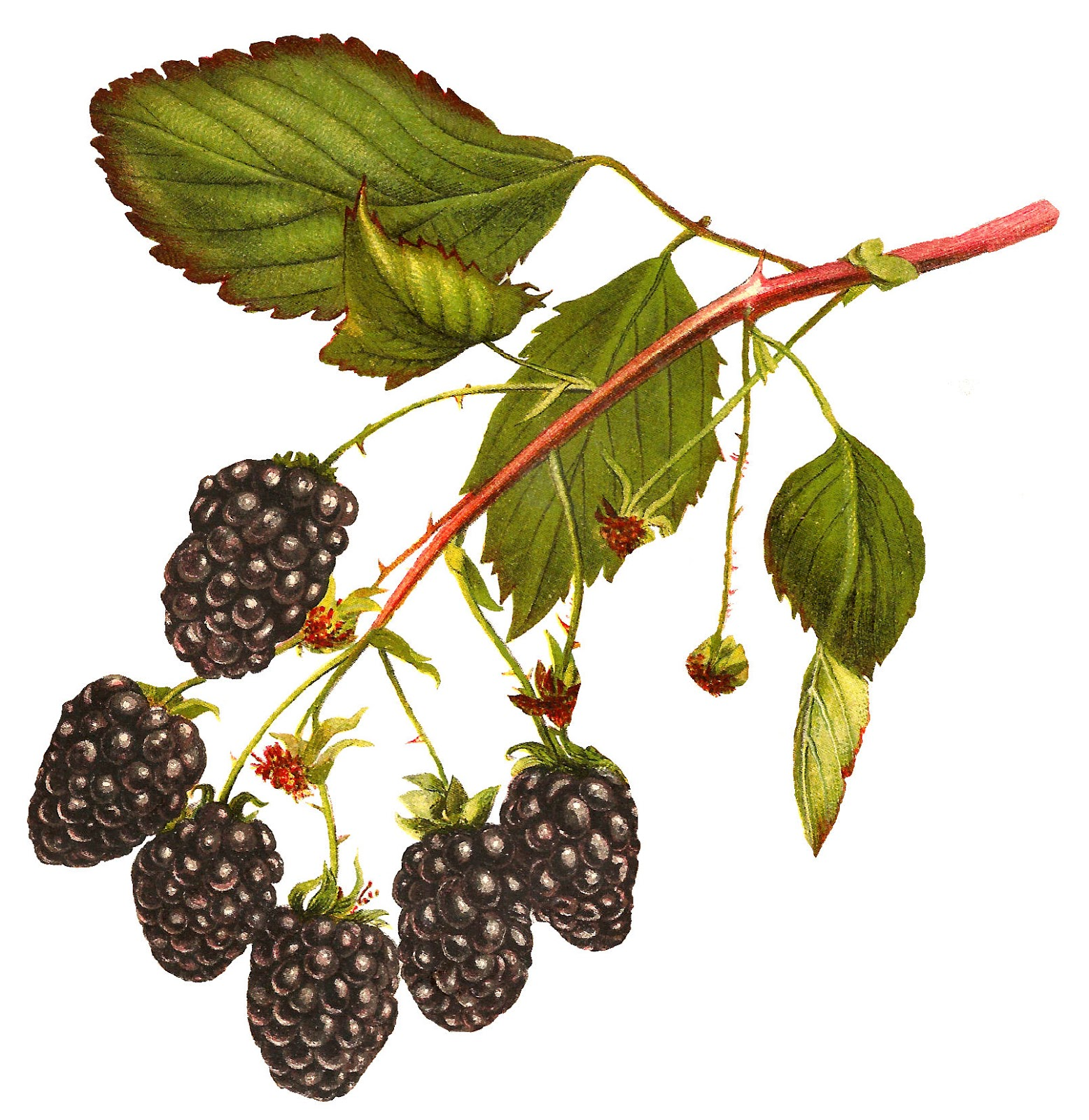 1556x1600 Antique Images Free Printable Blackberry Clip Art Digital Fruit
