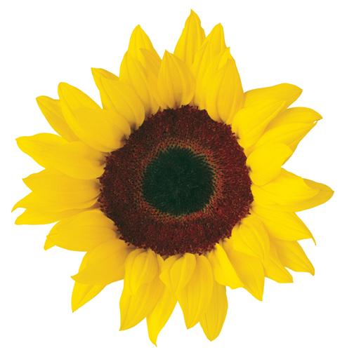 494x509 Sunflower Clip Art Free Printable Clipart 2 2