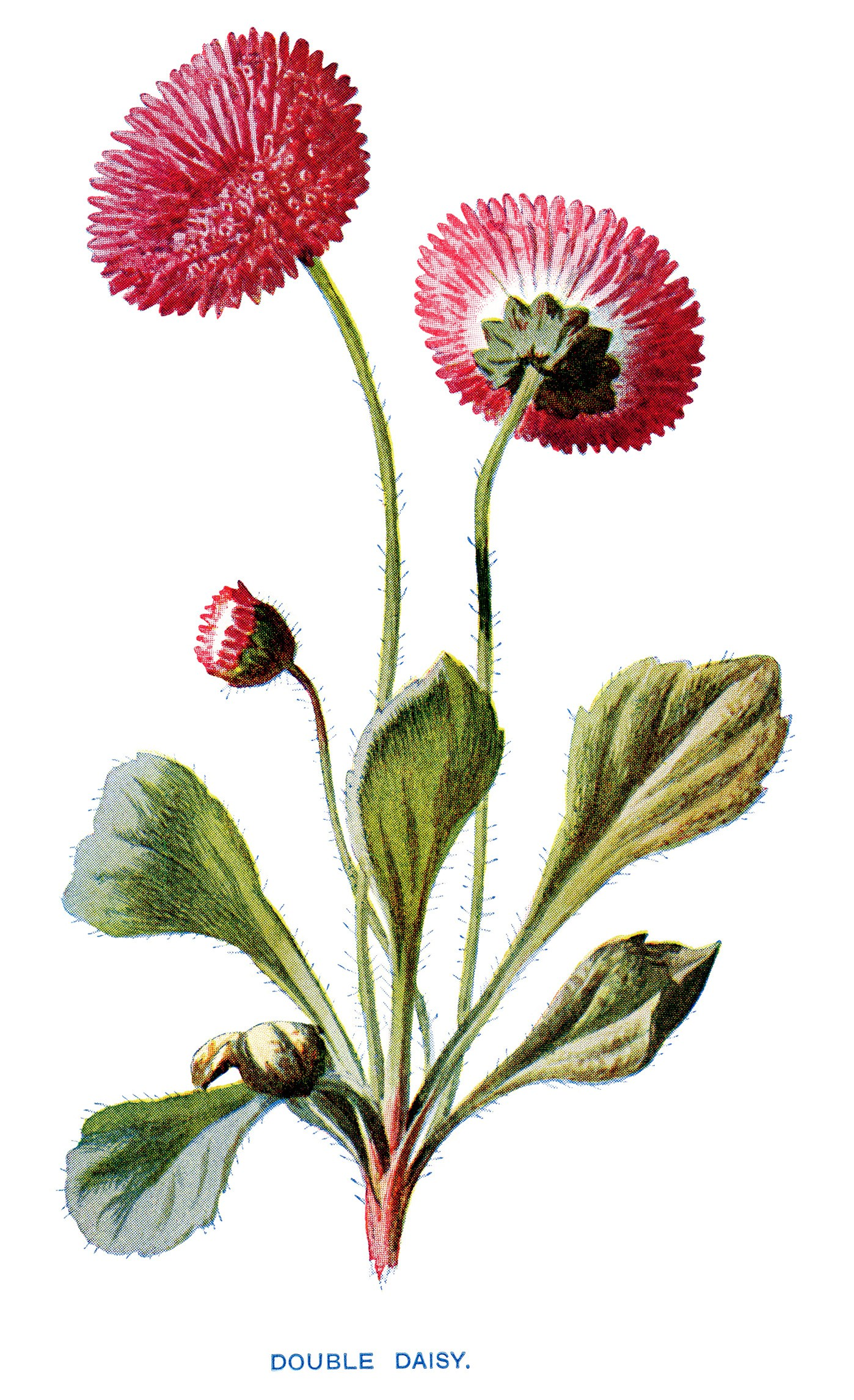 1398x2292 Free Vintage Clip Art Double Daisy Pink Flower Illustration