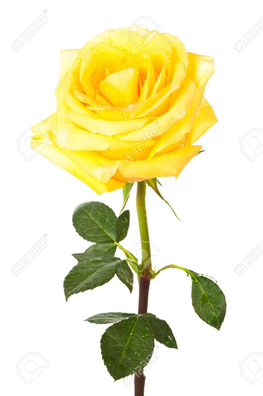 Free Yellow Rose Clipart | Free download on ClipArtMag