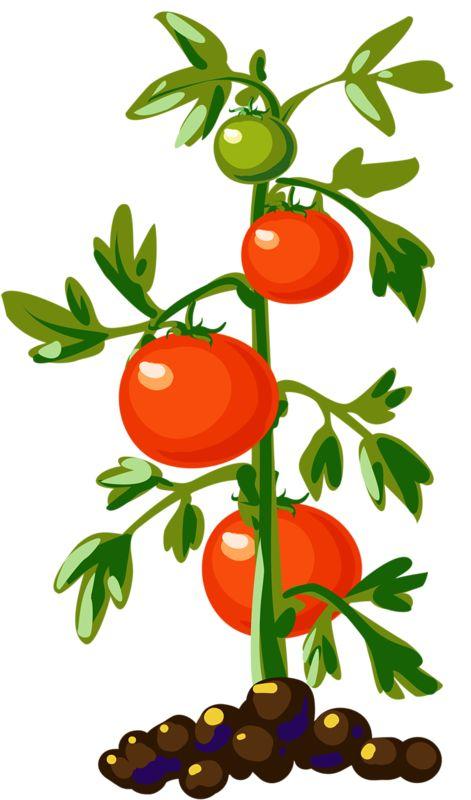 471x800 Fruit Clipart Tomato