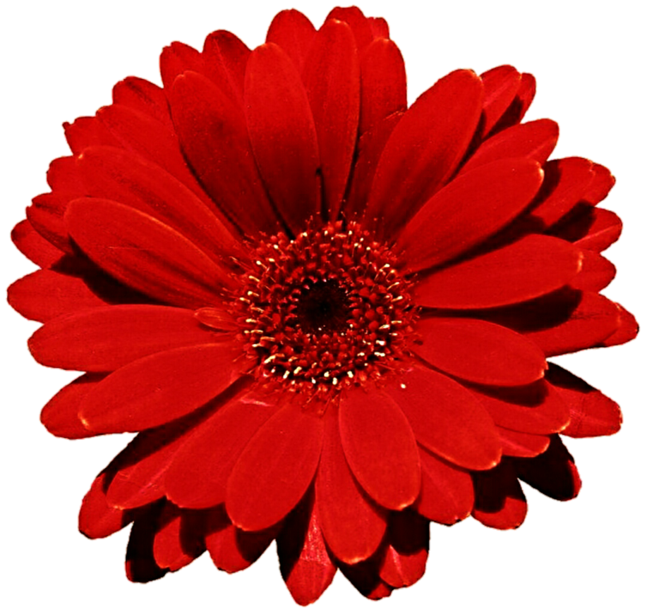 917x871 Red Gerbera Daisy Clip Art