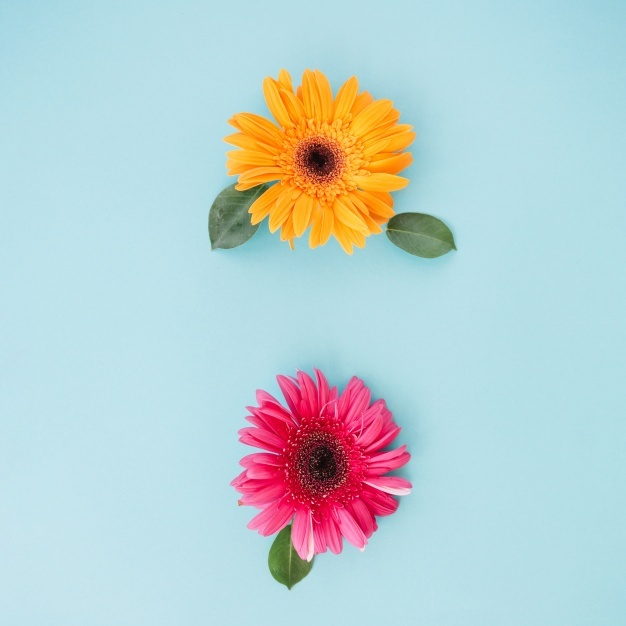 626x626 Gerbera Vectors, Photos And Psd Files Free Download