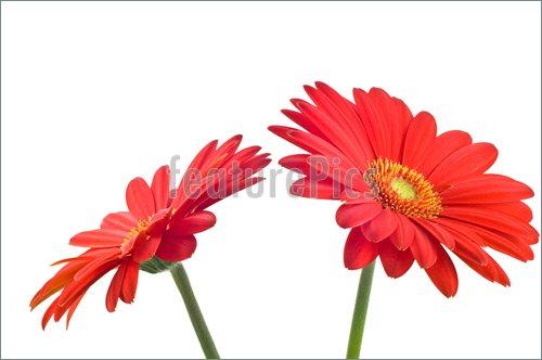 500x332 Red Gerbera Daisy Clip Art