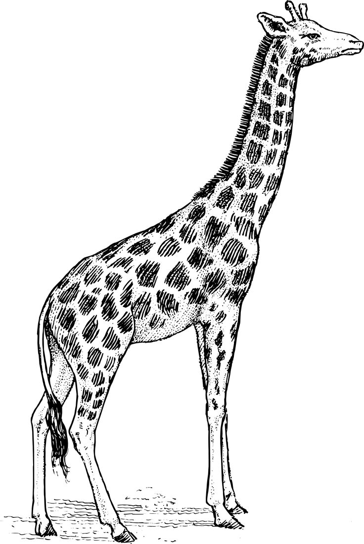 Giraffe Clipart Black And White