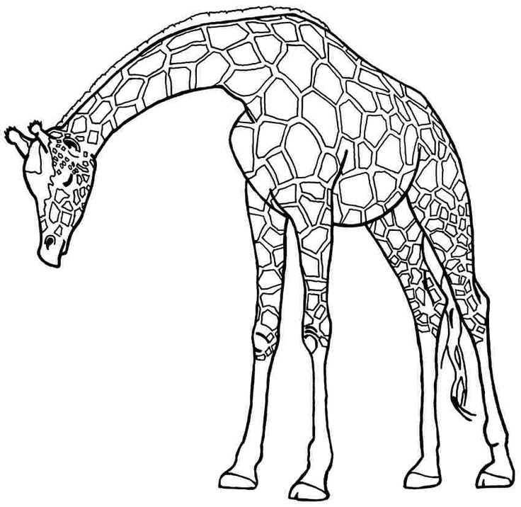 736x716 Giraffe Drawing