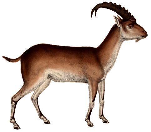 Goat Png