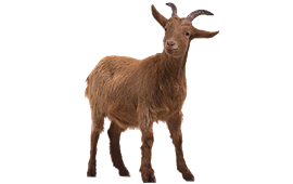 270x170 Goat Png Image Pictures