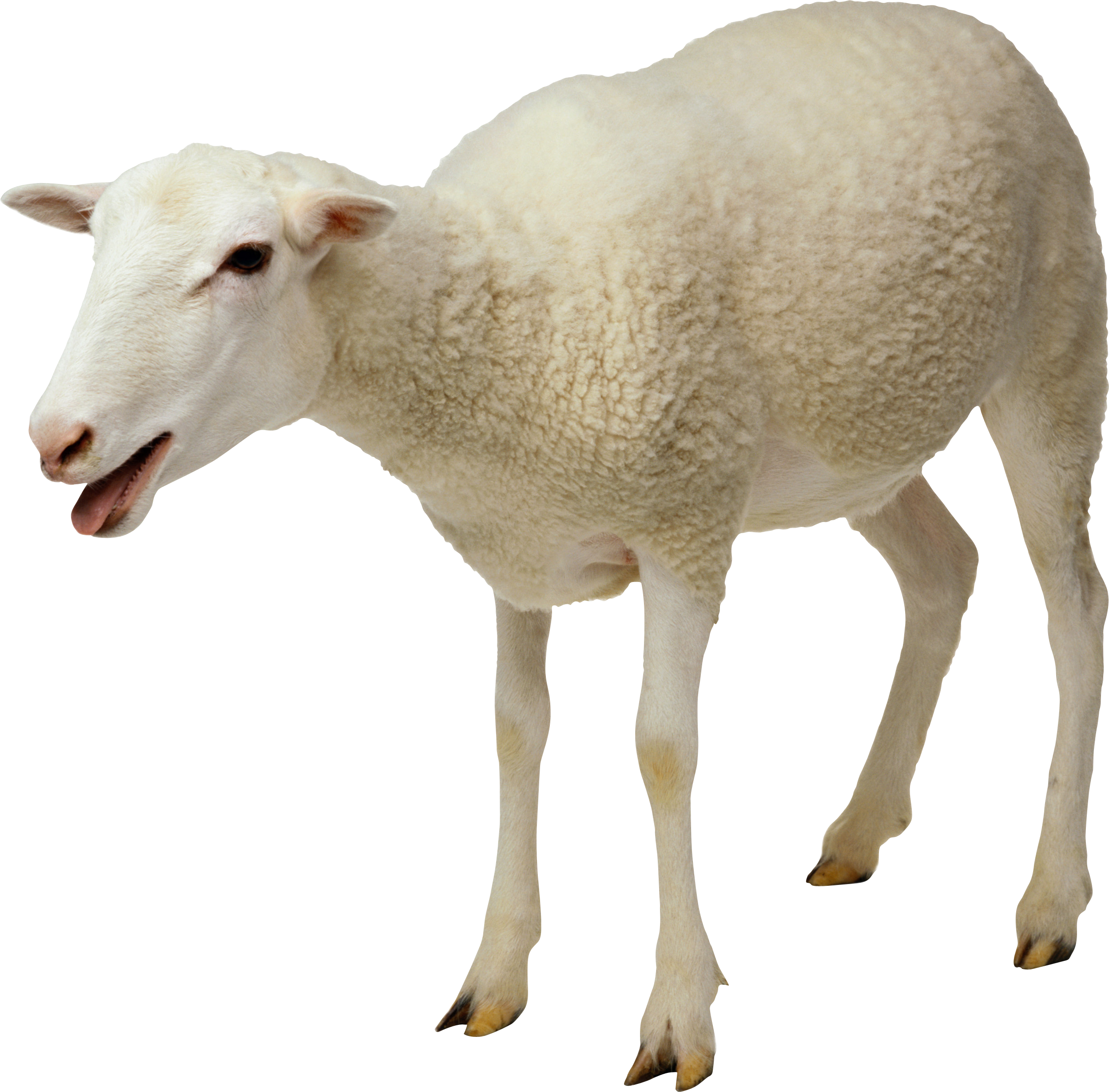 2497x2458 Sheep Png Image, Free Download