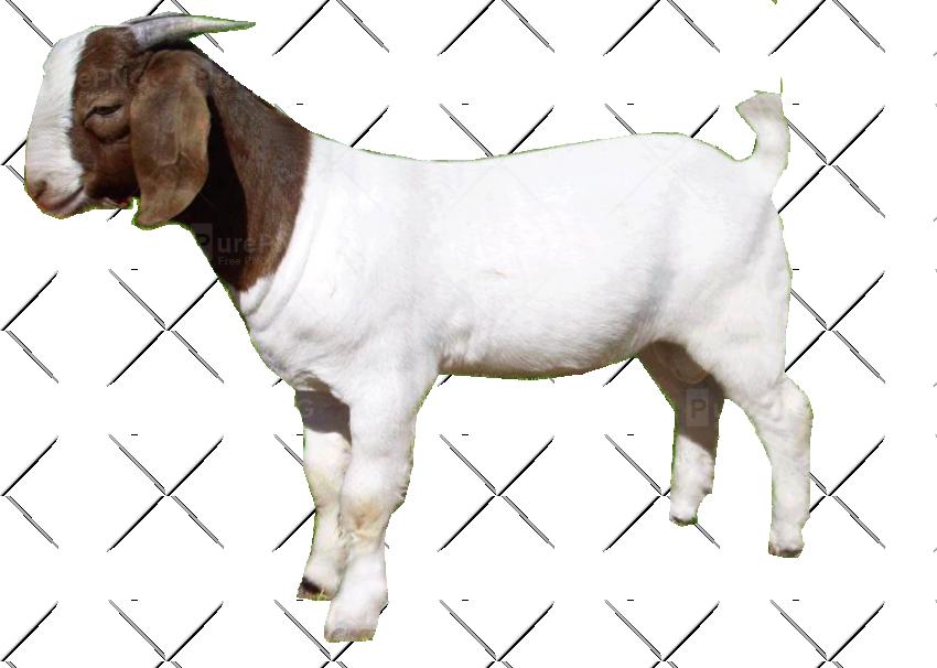 850x606 Goat