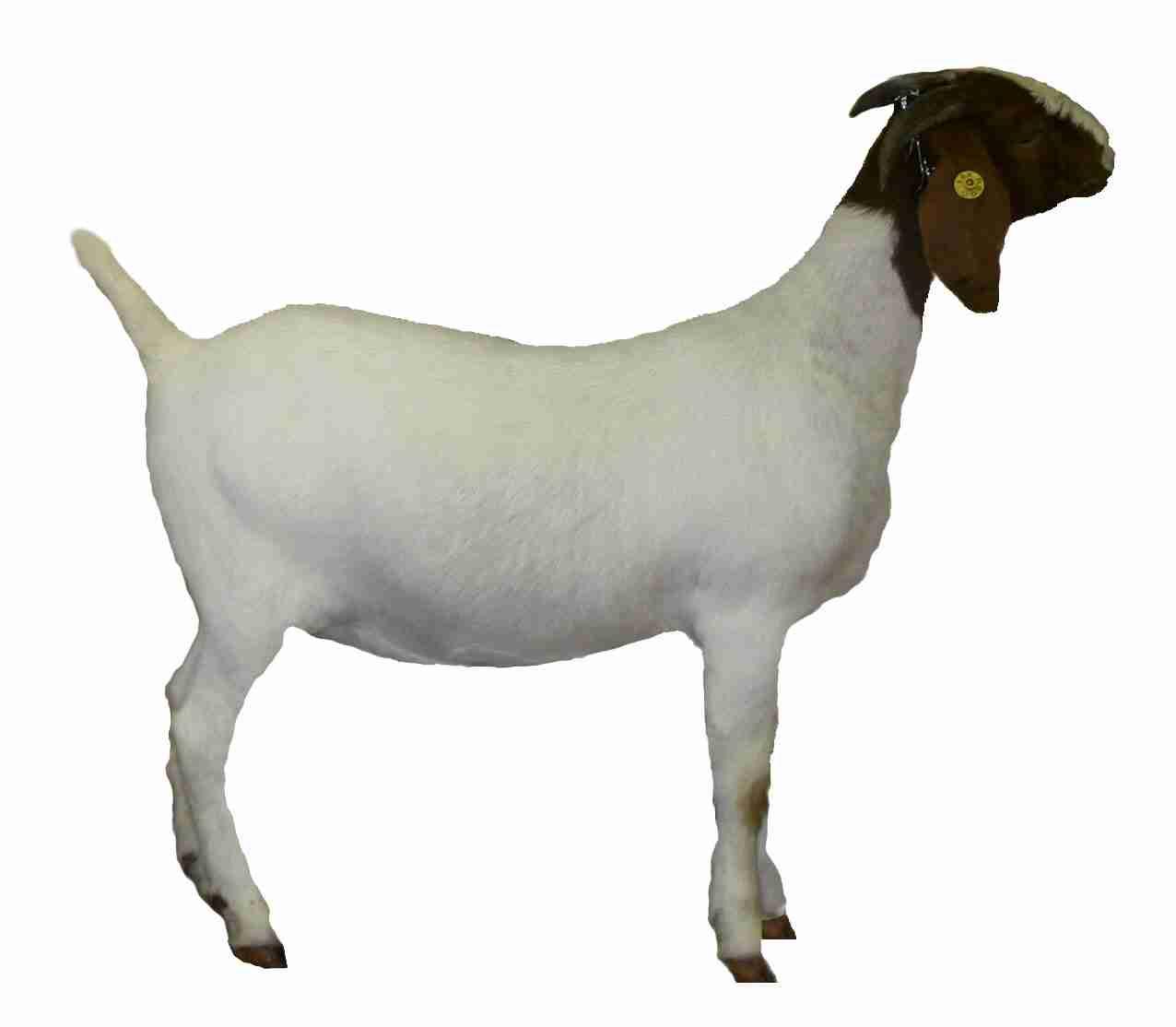 1276x1114 Goat