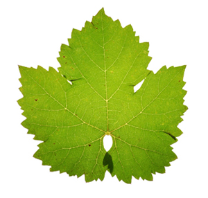 300x286 Wine Blog Blog Archive Wine Grape Leaves