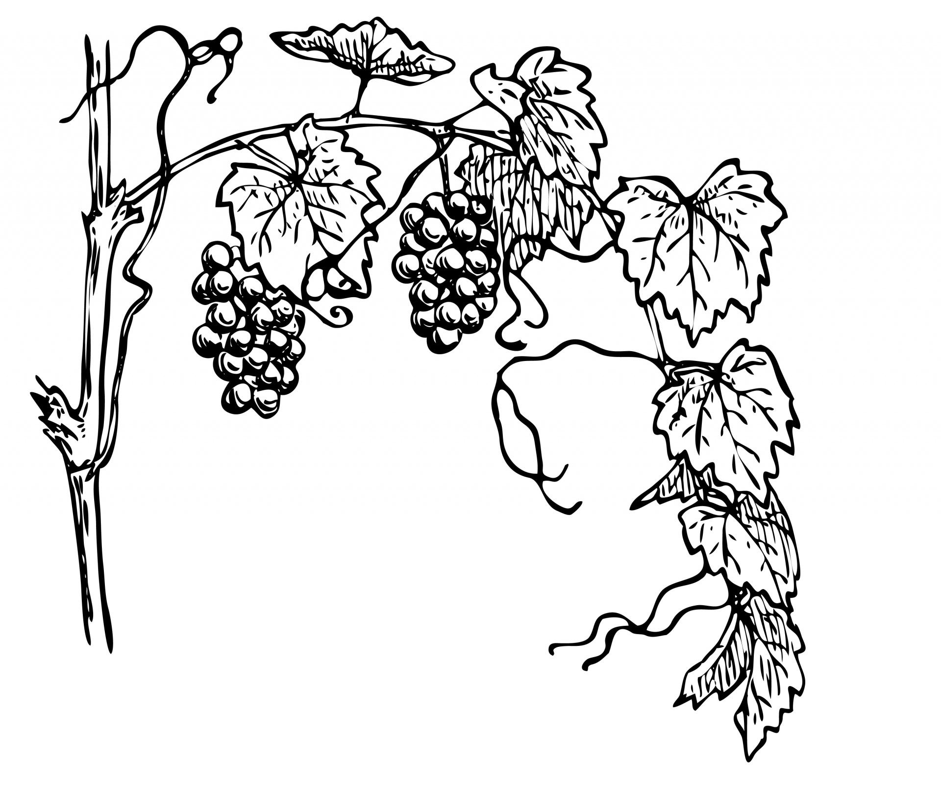 Grape Vine Clipart | Free download best Grape Vine Clipart on ... for Drawing Grape Vines  83fiz