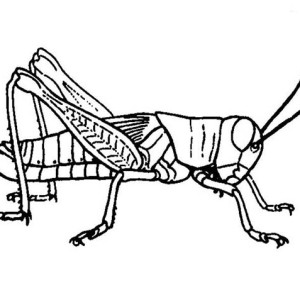 300x300 Picture Of Grasshopper Coloring Page Picture Of Grasshopper