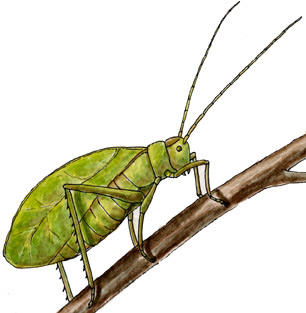 Grasshopper drawing for kids free download best grasshopper 800x490 cartoon grasshopper clipart 306x313 classification ccuart Image collections